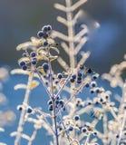 Деталь замороженной голубой ягоды Стоковое Фото