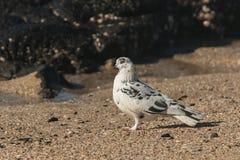 Деталь запятнанного голубя Стоковое Фото