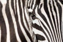 Деталь зебры Стоковая Фотография RF