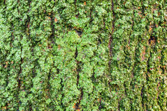 Деталь зеленого мха на коре дерева Стоковое фото RF