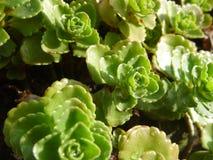 Деталь зеленых suculent листьев завода Стоковые Фото