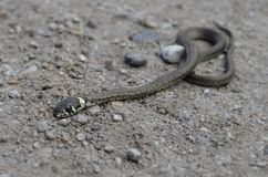 Деталь змейки младенца Стоковая Фотография