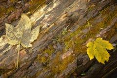 Деталь 2 листьев на древесине Стоковые Фотографии RF