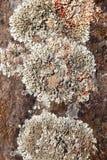 Деталь лишайника в предпосылке утеса в теплом тоне Стоковые Фото