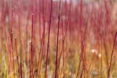 Деталь красных ветвей Стоковая Фотография