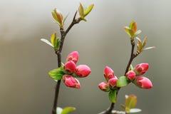 Деталь красных японских цветков вишни Стоковое фото RF