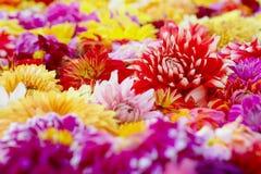 Деталь красочного ковра цветка георгина стоковые изображения