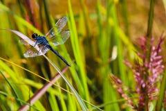 Деталь крыла Dragonfly Стоковое фото RF