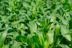 Деталь кукурузного поля Стоковая Фотография