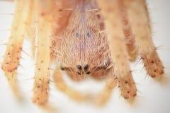 Деталь макроса паука Стоковая Фотография RF