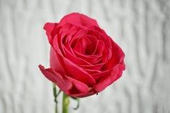 Деталь макроса цветка красной розы как символ влюбленности Стоковые Изображения RF