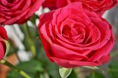 Деталь макроса цветка красной розы как символ влюбленности Стоковая Фотография