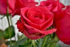 Деталь макроса цветка красной розы как символ влюбленности Стоковое Фото