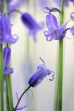 Деталь макроса wildflower Bluebells Стоковые Изображения RF