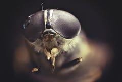 Деталь мухы Стоковая Фотография