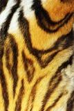 Деталь на обнажанном мехе тигра Стоковые Изображения RF