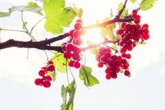 Деталь на пуке белой смородины на ветви с зелеными листьями Стоковые Изображения