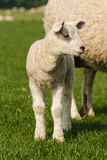 Деталь овечки сосунка Стоковая Фотография