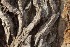 Деталь очень старой коры дерева тополя Стоковые Фотографии RF
