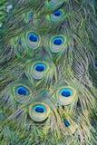 Деталь пера павлина Стоковое Изображение RF