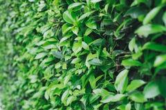 Деталь поверхности зеленых кустов Стоковое фото RF