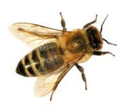 Деталь пчелы или пчелы, Apis Mellifera Стоковая Фотография RF