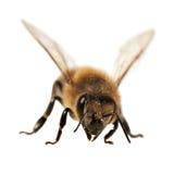 Деталь пчелы или пчелы, Apis Mellifera Стоковые Фотографии RF
