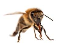 Деталь пчелы или пчелы, Apis Mellifera Стоковое Фото