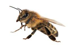 Деталь пчелы или пчелы, Apis Mellifera Стоковая Фотография
