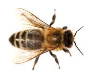 Деталь пчелы или пчелы, Apis Mellifera Стоковое Изображение RF