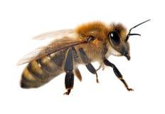 Деталь пчелы или пчелы, Apis Mellifera Стоковое Изображение