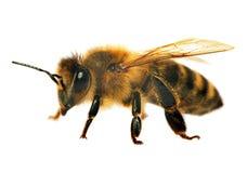 Деталь пчелы или пчелы, Apis Mellifera Стоковые Изображения