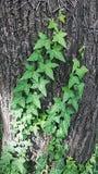 Деталь плюща на хоботе Листья зеленого цвета взбираясь завода на стволе дерева Стоковые Фото