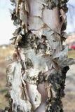 Деталь расшивы березы реки Стоковое Фото