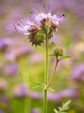 Деталь свежей фиолетовой пижмы в поле в предпосылке Зеленый голубой фиолетовый цветок Стоковые Изображения