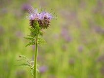 Деталь свежей фиолетовой пижмы в поле в предпосылке Зеленый голубой фиолетовый цветок Стоковые Фотографии RF