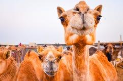Деталь смешного верблюда смотря в камеру Стоковые Фото