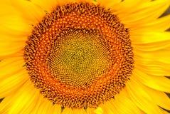 Деталь солнцецвета, заполняя все изображение Стоковая Фотография