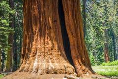 Деталь старых деревьев секвойи Стоковые Изображения