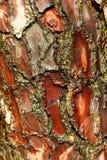 Ствол дерева сосенки Стоковое Фото