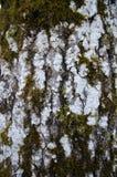 Деталь ствола дерева Aspen Стоковые Изображения RF