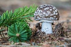 Деталь съестного spissa мухомора гриба Стоковые Фотографии RF