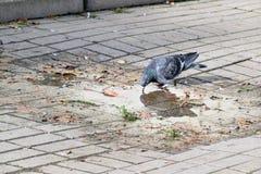 Деталь с птицами, голубями которые выпивают воду Стоковые Фото