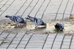 Деталь с птицами, голубями которые выпивают воду Стоковая Фотография RF