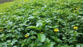 Деталь лужайки зеленой травы с желтыми цветками Стоковая Фотография RF