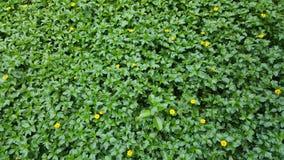 Деталь лужайки травы с желтыми цветками Стоковые Изображения RF
