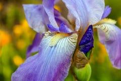 Деталь цветеня и бутона радужки Стоковое Изображение