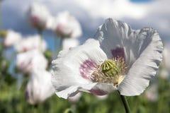 Деталь цветя мака опиумного мака - somniferum Стоковое фото RF