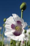 Деталь цветя мака опиумного мака - somniferum Стоковые Фото