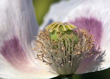 Деталь цветя мака опиумного мака - somniferum Стоковые Изображения